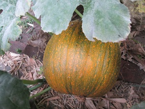 Pumpkin photo by Hazel Ann Lee
